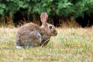 Kanin 1